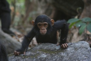 Photo: Baby Chimp